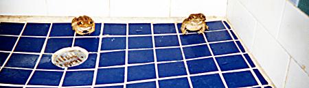 frogs_chytrid fungus